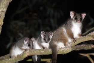 Australian ring-tailed possum, photo by kookr