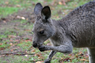 external image what-do-kangaroos-eat-by-travellingtama.jpg